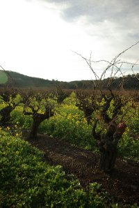 gnarly_head_vines_sonoma_po1